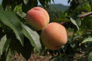 旬のもぎたてフルーツ食べ放題★果物狩り体験プラン