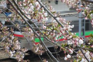 小樽の桜案内 ~JR小樽駅裏~