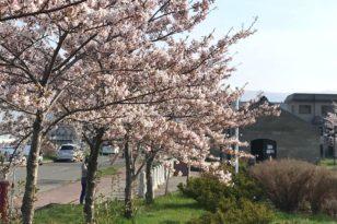 写真でお花見③ 運河と桜