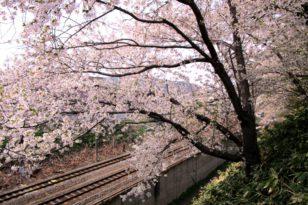 写真でお花見② 鉄道と桜