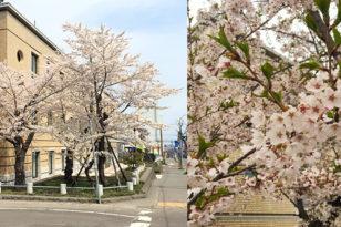 写真でお花見① 小樽警察署前