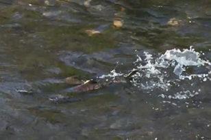秋限定★鮭の遡上が見れる勝納川